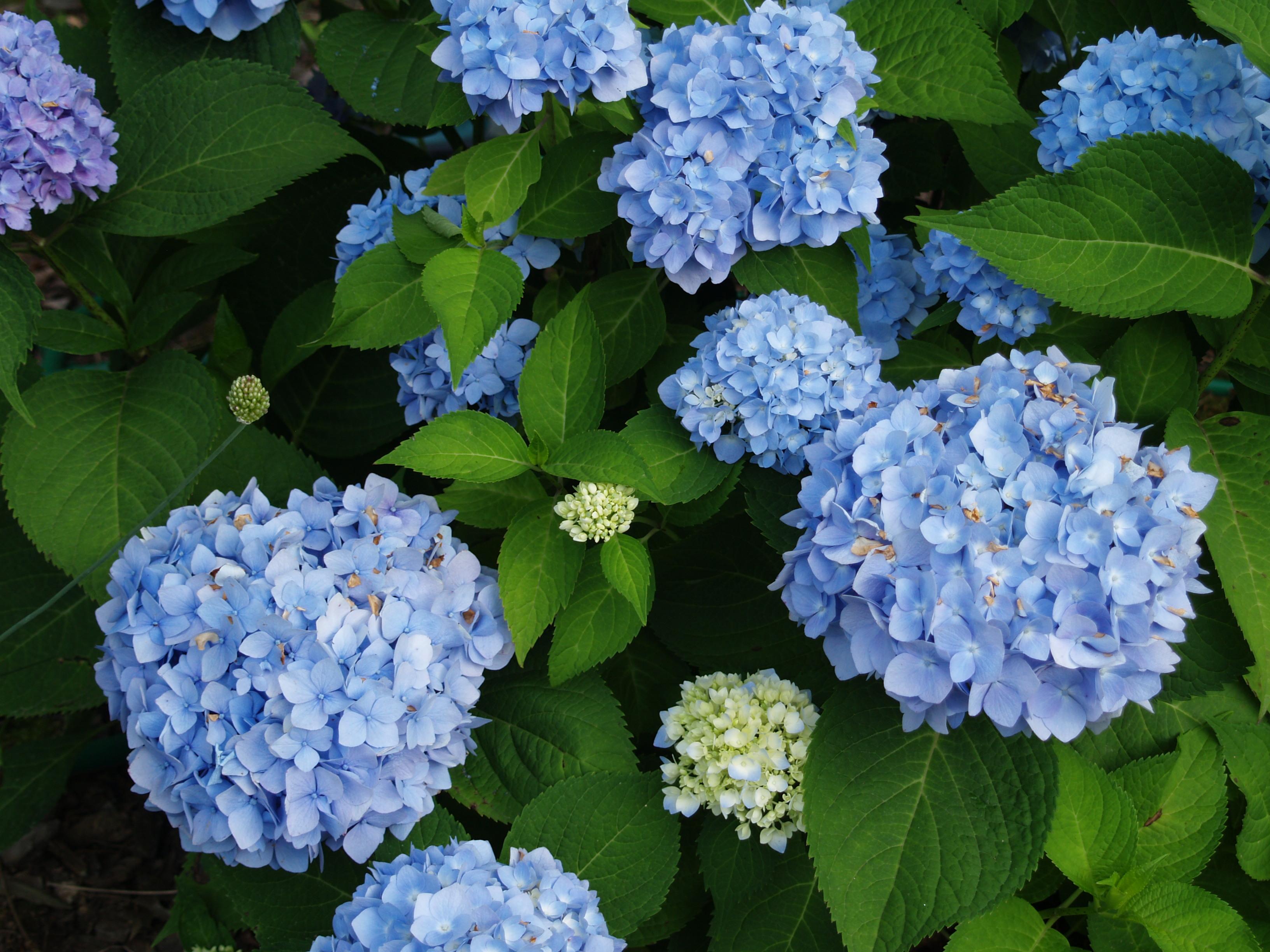 Hydrangeas To Beat The Heat Ramblin Through Dave S Garden