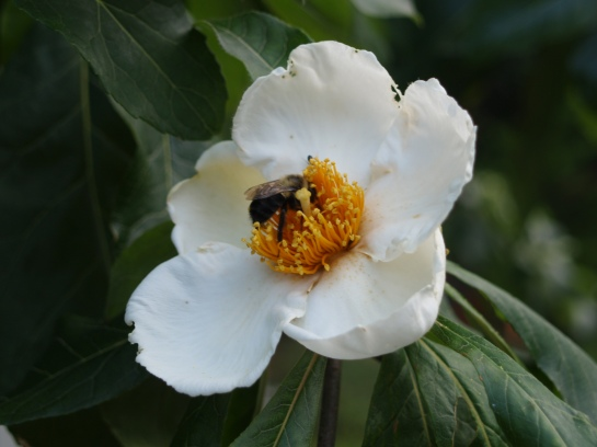 A bumblebee digging deep for pollen in Franklinia bloom