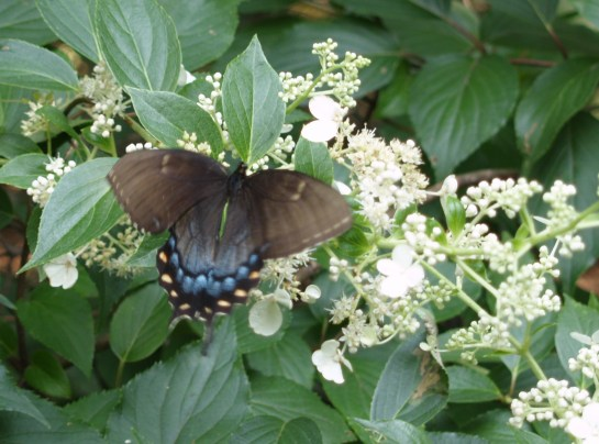 Butterfly on Tardiva hydrangea in late July