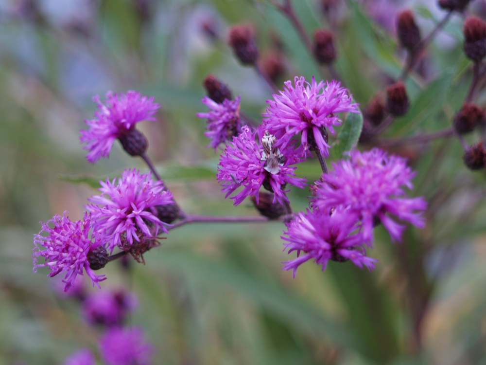Ironweed in late August