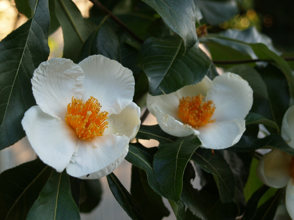 Franklinia blooming in late August