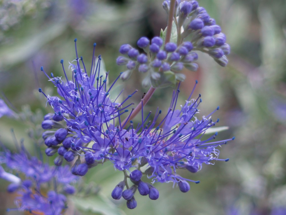 Blue Mist shrubs are semi woody. They often must be pruned by a foot or more in early spring.