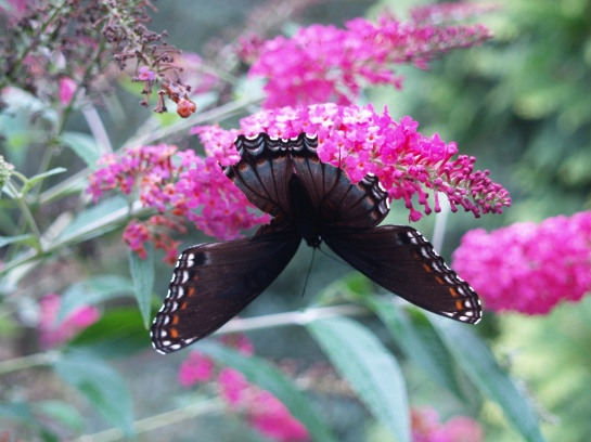 Butterfly on Miss Rub butterfly bush