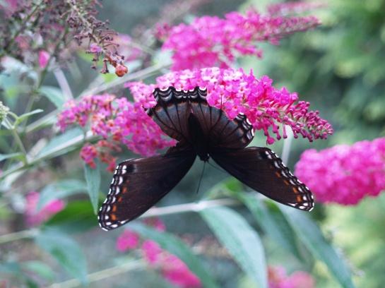 Butterfly on Miss Rub butterfly bush