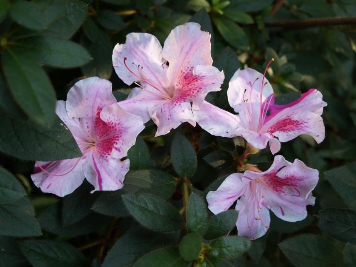 Twist Encore azalea in early autumn