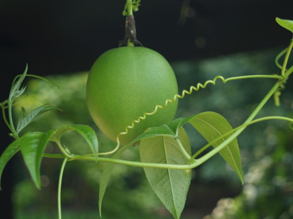 Passion flower fruit in early September