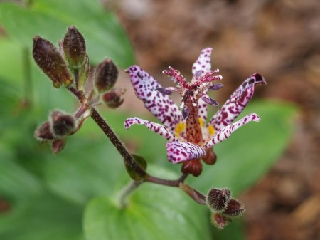 Sinonome toad lily in mid September