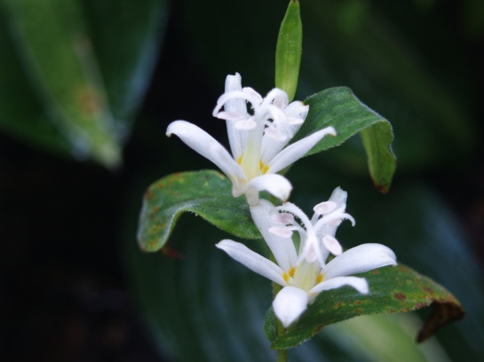 Tricyrtis Maya White in late September