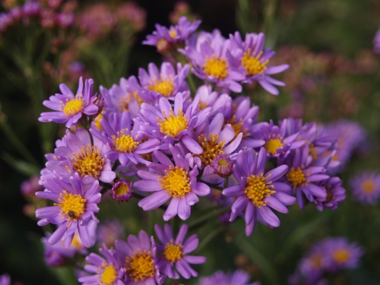 Aster tataricus Jindai in October