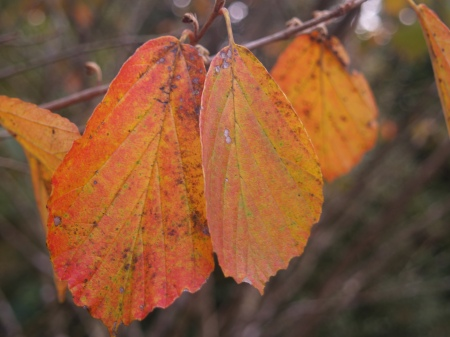 Arnold Promise witch hazel autumn foliage
