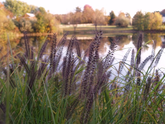 Black fountain grass growing beside a farm pond
