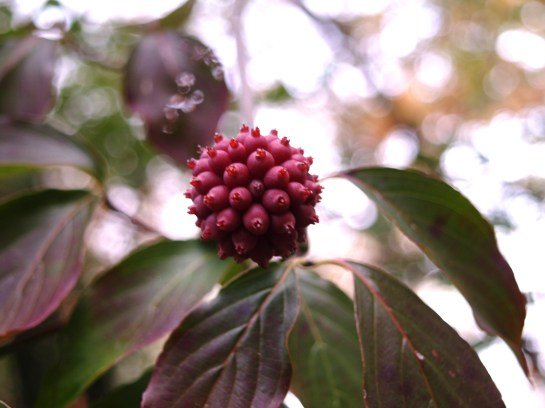 Fruits are rarely seen in the garden on the hybrid Stellar Pink dogwood.