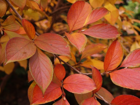 Stewartia autumn foliage