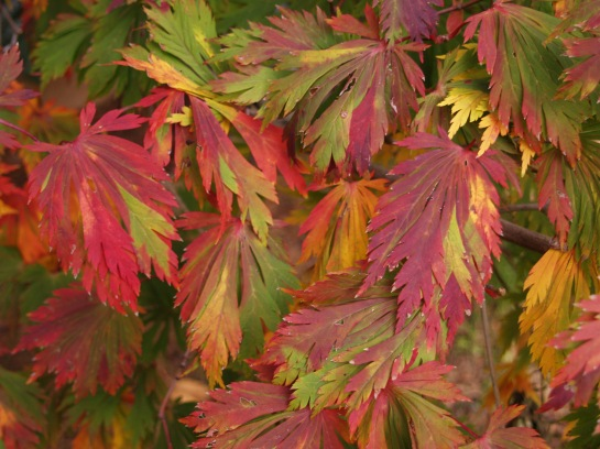 Fern leaf Japanese maple autumn foliage