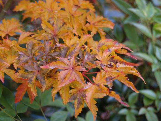 Lion's Head Japanese maple autumn foliage