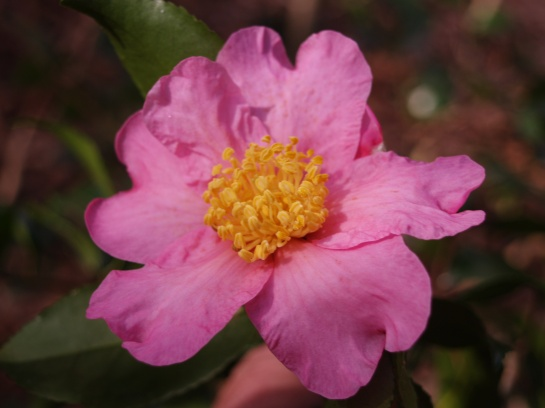 Winter's Star camellia in late October