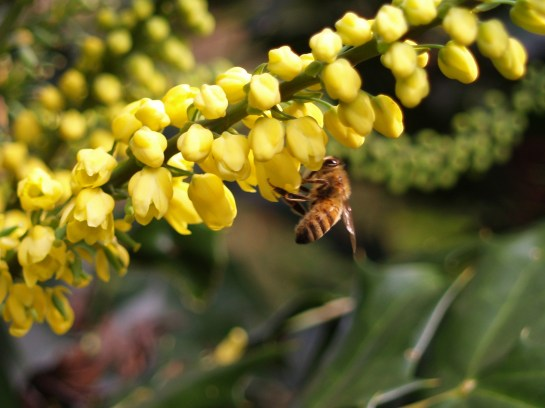 A bee visiting flowers of Winter Sun mahonia in late November