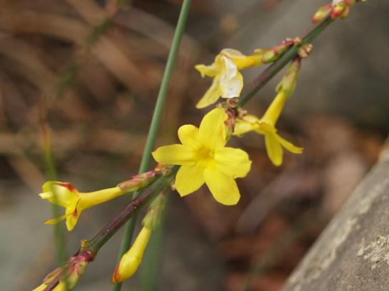 Winter jasmine at the start of January