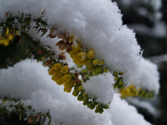 Winter Sun mahonia blooming in the snow in January