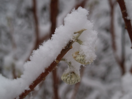Edgeworthia flower buds covered in snow