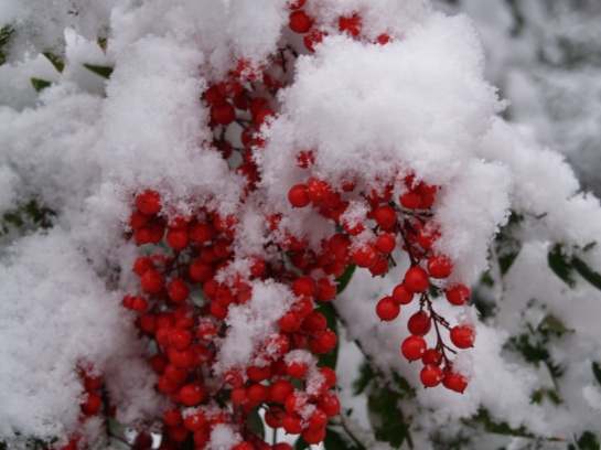 Nandina berries peaking out from the snow