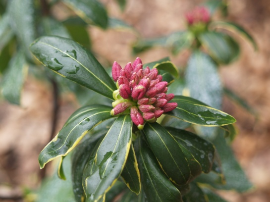 Variegated winter daphne in late January