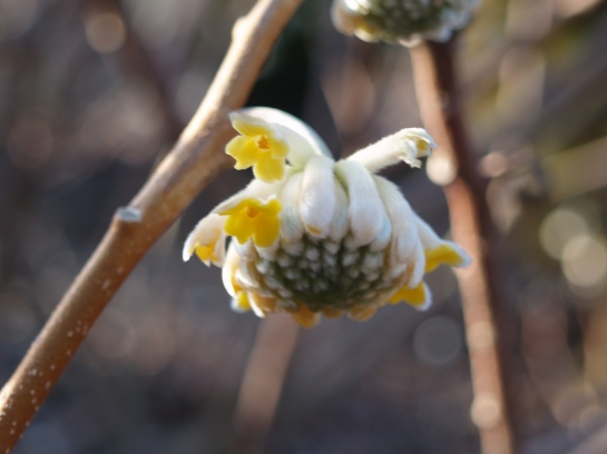 Edgeworthia in February