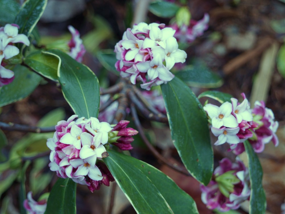 Winter daphne in March