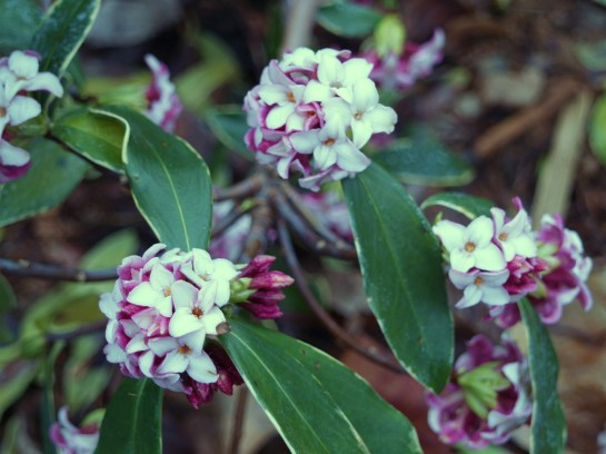 One Winter daphne suffered injury to uppermost flower buds, while a second escaped injury. Both are flowering in early April when late February or early March is more typical.