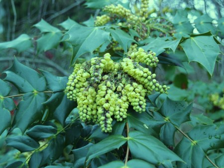 Leatherleaf mahonia in early March