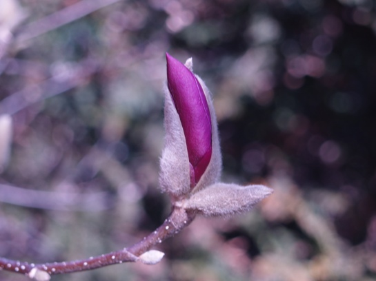 Jane magnolia breaking bud in early April