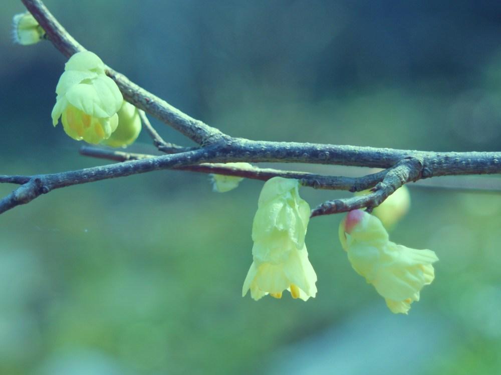 Winter hazel in late March