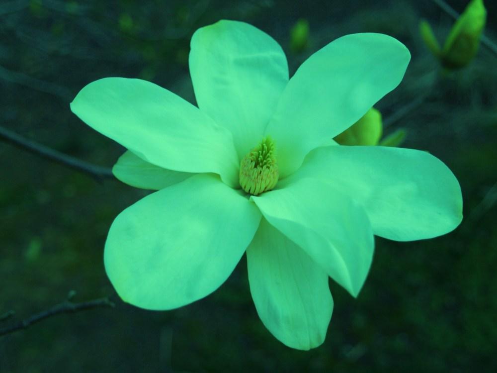 Elizabeth magnolia in late March