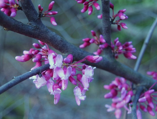 Redbud flowering in early April