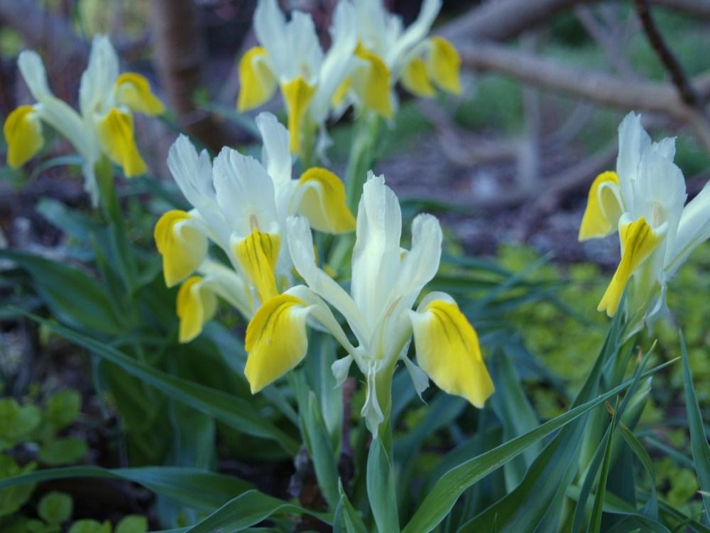 Iris bucharica in early April