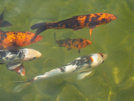 Koi in the swimming pond