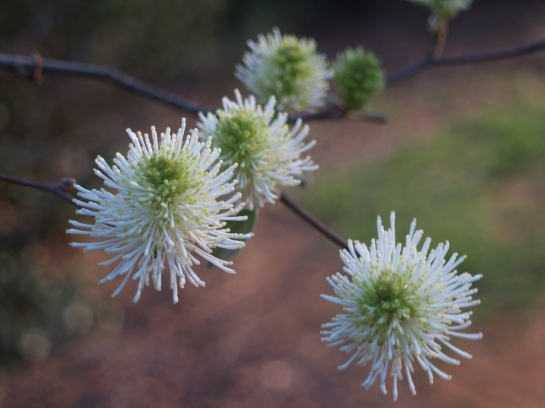 Fothergilla flowering in early April
