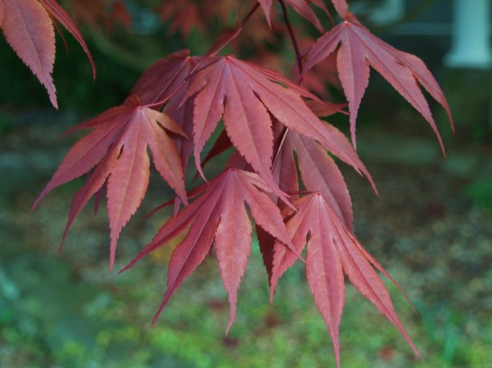 Bloodgood Japanese maple in early spring