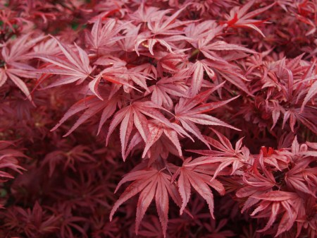 Shaina Japanese maple in early spring