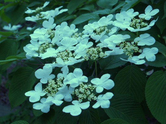 Shasta viburnum in mid April