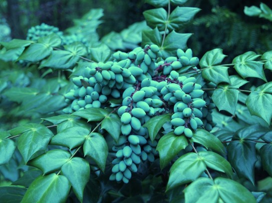 Fruit on leatherleaf mahonia in late April