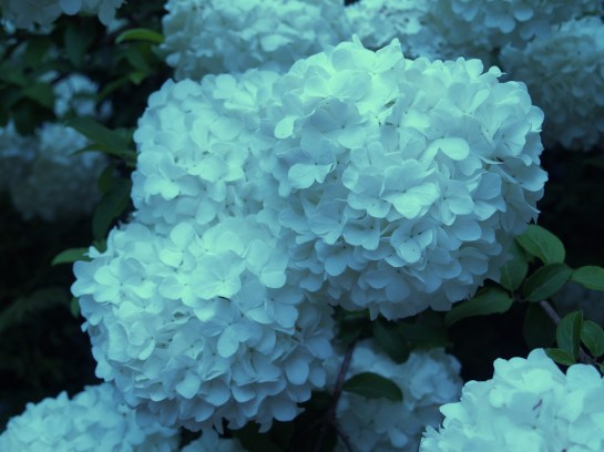 Chinese snowball viburnum in late April
