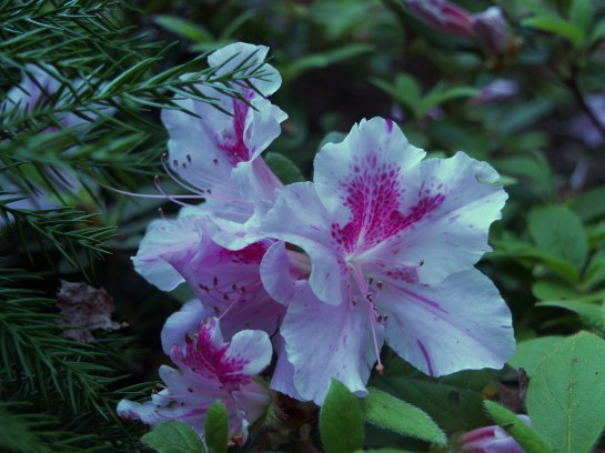 Autumn Twist Encore azalea in late April