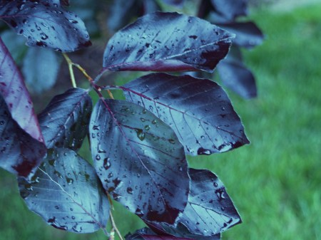 Purple leaf beech