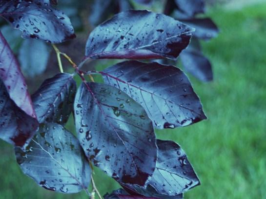 Purple leaf beech