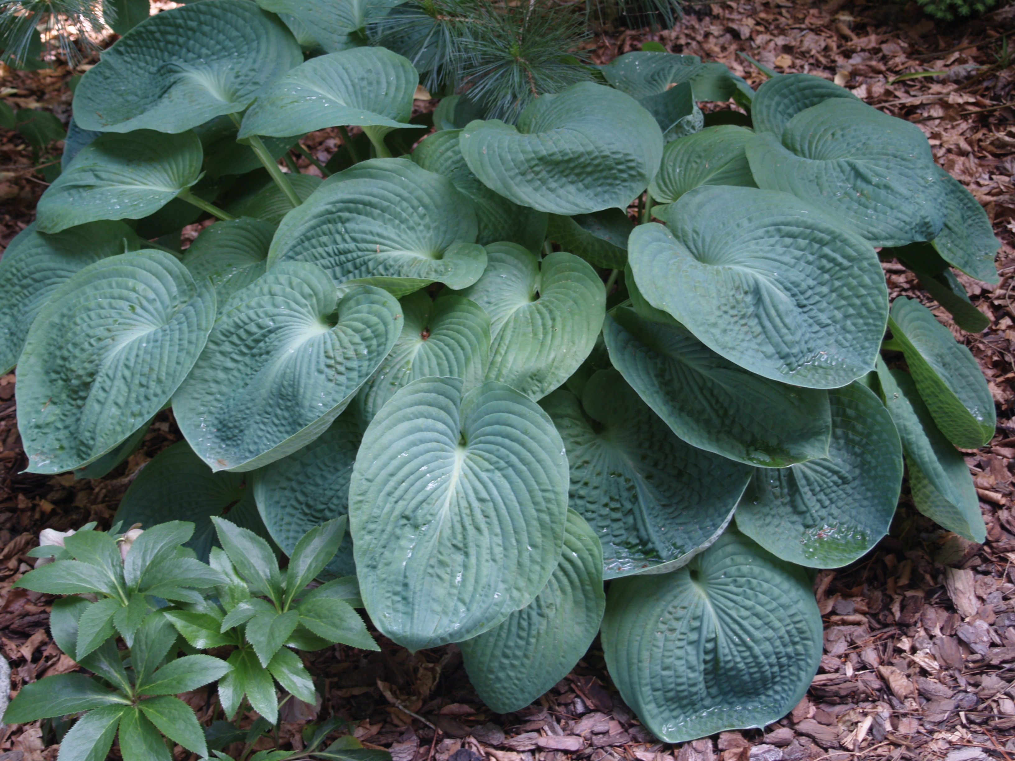 Plan For Spring More Hostas Ramblin Through Daves Garden