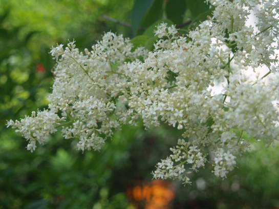 Tree lilac in late May
