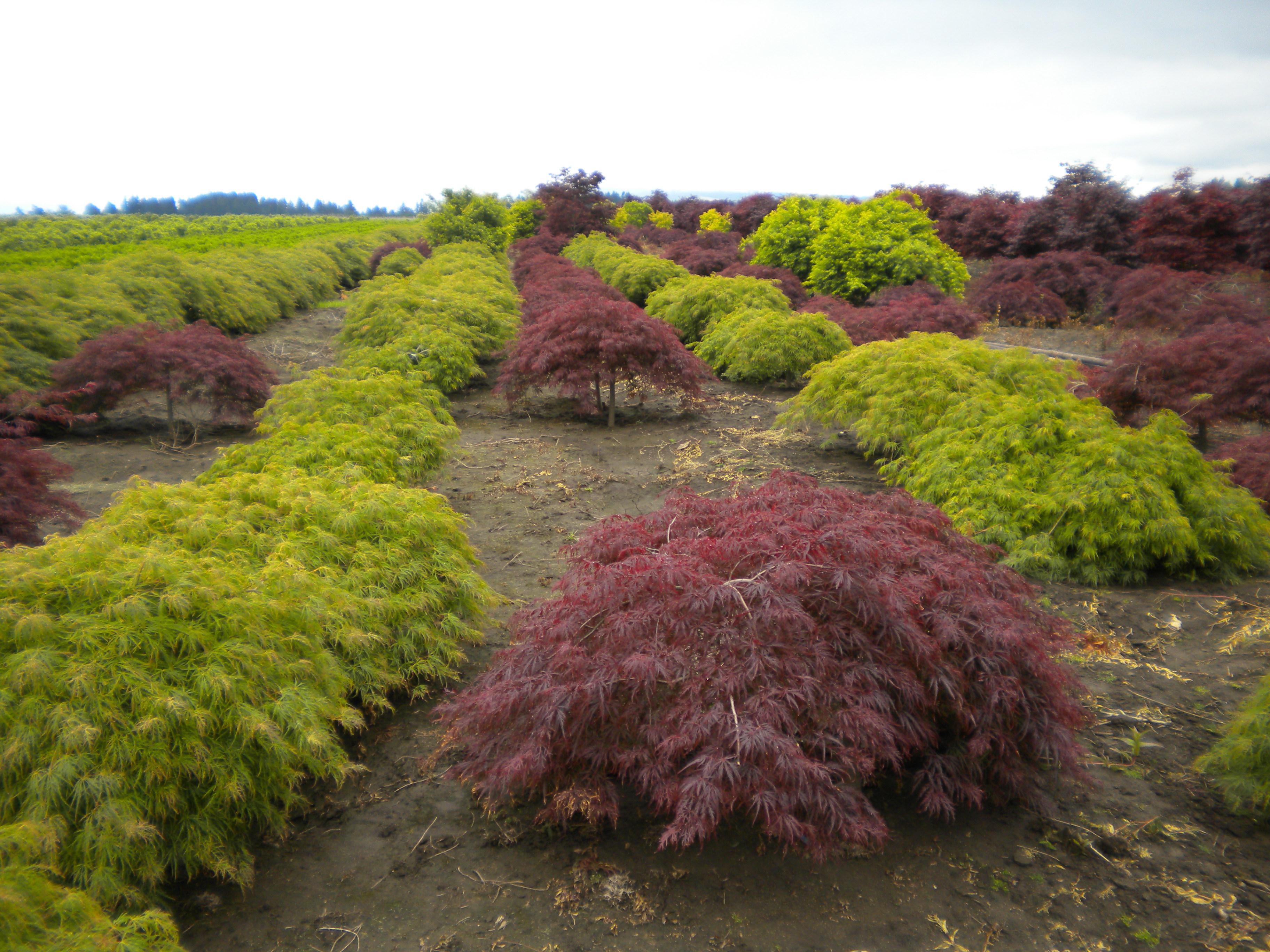 In Search Of Japanese Maples Ramblin Through Dave S Garden