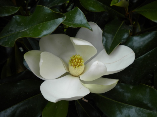 Brackens Brown Beauty magnolia in better times