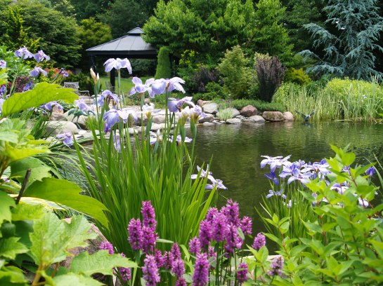 Japanese iris blooming by the swimming pond in early June